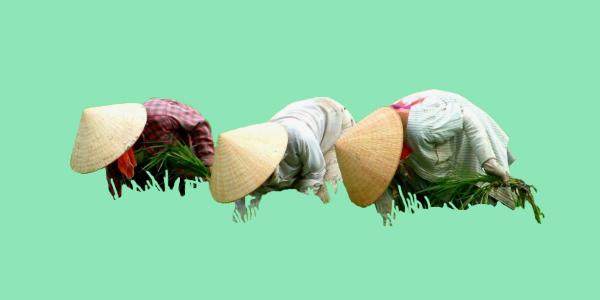 китайцы собирают рис